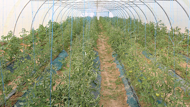 صورة ضمن خططها التطويرية لمزرعة فدك المزرعة تشهد انتاجا وفيرا من الخضروات
