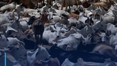 Photo of India bans Muslims from slaughtering cows and camels in Kashmir during Eid al-Adha